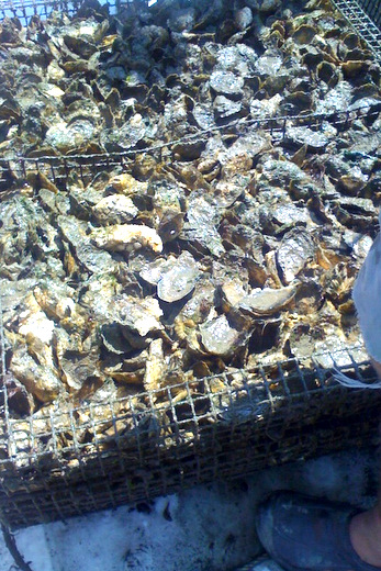 Oyster harvesting in Virginia